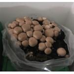Substrato incubato di funghi Prataiolo crema Champignon