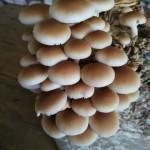 Substrato composto incubato di funghi Pioppino