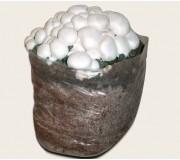 Substrato incubato di funghi Prataiolo bianco Champignon