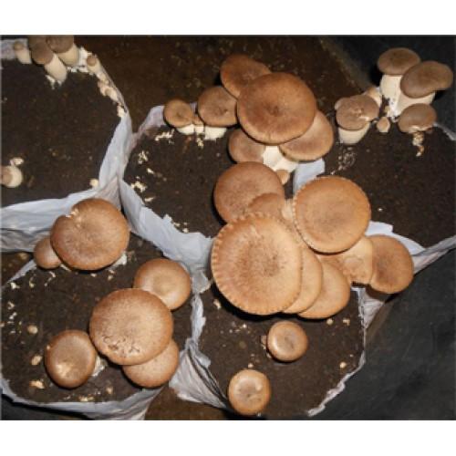 Substrato composto incubato di funghi Cardoncello eryngii