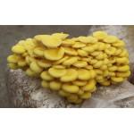 Substrato incubato di funghi Pleurotus oro Cornucopiae