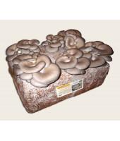 Substrato composto incubato di funghi Pleurotus ostreatus