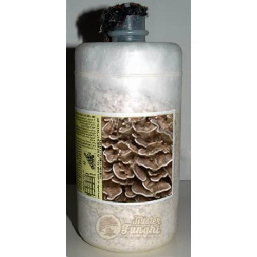 Micelio fresco di funghi Grifola Frondosa Maitake bottiglia 2,5LT