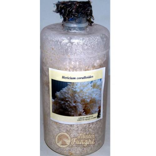 Micelio fresco di fungo Hericium coralloides bottiglia 2,5LT