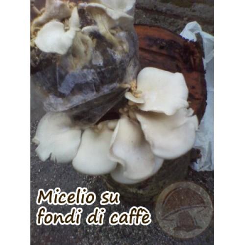 Micelio Fresco Pleurotus Ostreatus in sacchetto 4 Litri