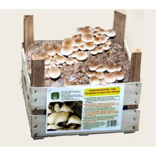 Substrato pronto funghi Pioppino in cassetta di legno